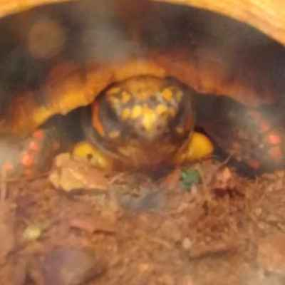 Information on Red Foot Tortoise Reptiles for Sale in Illinois