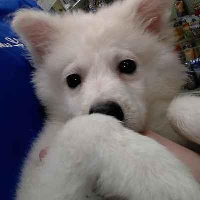 Available Puppies For Sale - Park Pet Shop